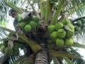 Nắng nóng đẩy giá dừa tươi ở miền Tây tăng gấp đôi