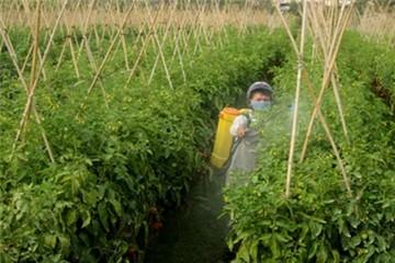 Cà chua 1.000 đồng/kg vẫn ế
