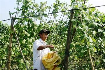 Quảng Nam, Quảng Ngãi: Nông dân đắng lòng vì rau sạch