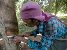 Ấn Độ kỳ vọng sản xuất 95.000 tấn cao su niên vụ 2014-2015