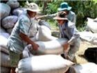 Giữ giá lúa gạo nhờ xuất khẩu tiểu ngạch
