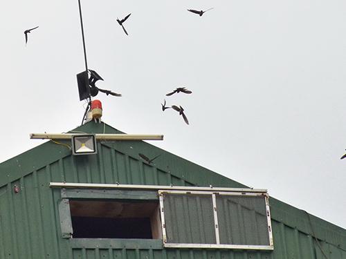 TP.HCM: Hàng trăm nhà nuôi chim yến tự phát