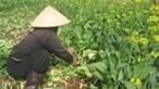 Rau tại ruộng rớt giá thê thảm, rau tại chợ giá cao gấp... 20 lần