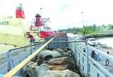 Bỏ triệu USD nhập bò về thịt