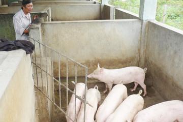 Người thương binh mê nuôi lợn ngoại