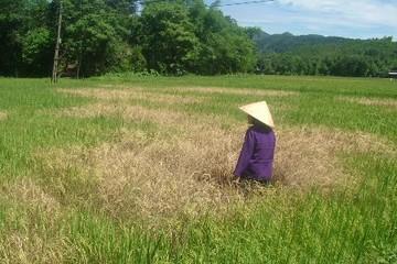 Lúa được bảo hiểm mất mùa: Nông dân phải tự chịu?
