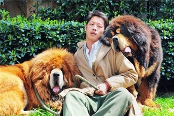 Đại gia Trung Quốc mua chó ngao Tây Tạng giá 40 tỷ đồng