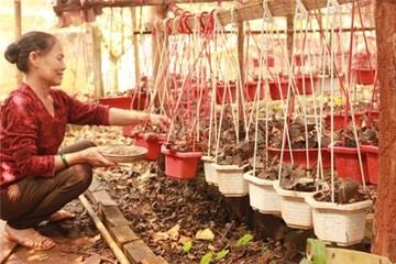 Hơn 1,2 triệu đồng mỗi kg lan gấm... không biết để làm gì