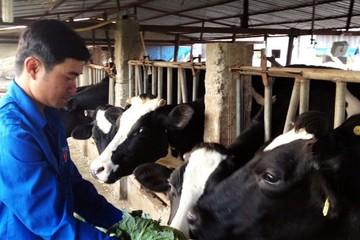 """Chàng thanh niên làm """"bà đỡ"""" cho bò sữa"""
