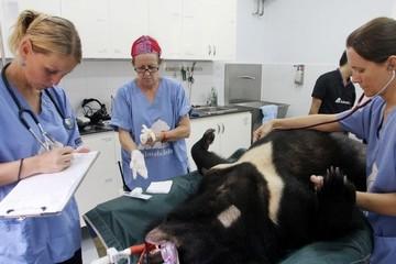 Bình Thuận xóa bỏ nuôi gấu trang trại