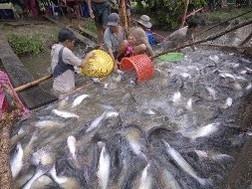 Dấu hiệu sụt giảm sản lượng nguyên liệu cá tra