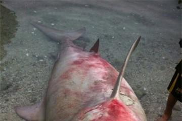 Hàng loạt cá mập xuất hiện tại vùng biển Khánh Hòa