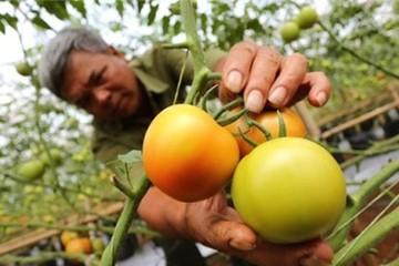 Vì sao người tiêu dùng không chuộng cà chua 3 trái/kg?