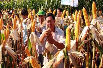 Chuyển sang trồng bắp, đậu nành, hoa màu được hỗ trợ tiền