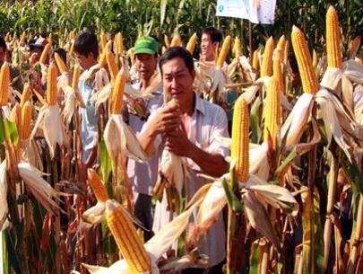 Chuyển sang trồng bắp, đậu nành, hoa màu được hỗ trợ 2 triệu đồng tiền giống/ha