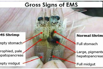 Thử nghiệm giải pháp mới phòng trị tôm bệnh EMS