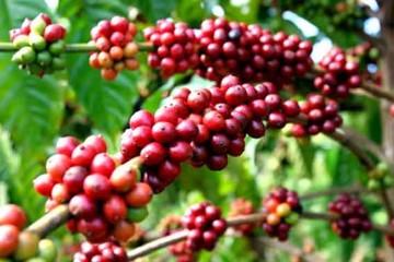 Xuất khẩu cà phê tăng mạnh trong 4 tháng dù giá giảm