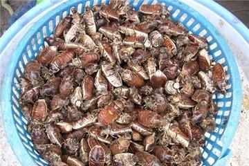 Dân Bảy Núi kiếm nửa triệu đồng mỗi ngày nhờ săn bọ rầy