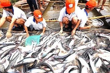 Ngành cá tra: Cung đã vượt cầu nghiêm trọng
