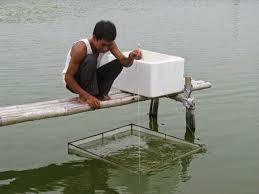 Cảnh báo nuôi tôm thẻ chân trắng trong vùng nước ngọt