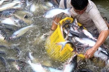 Dự báo xuất khẩu cá tra đạt khoảng 1,6 tỷ USD
