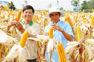 Hạt giống của SSC: Nông dân Trà Vinh được mùa bắp vàng