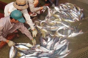 An Giang trước nguy cơ thiếu nguyên liệu cá tra