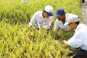 Philippines từ bỏ kế hoạch tự cung tự cấp lúa gạo – cơ hội cho Việt Nam