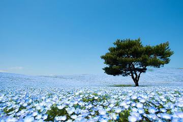 Đến thăm cánh đồng hoa xanh đầy mê hoặc ở Hitashi