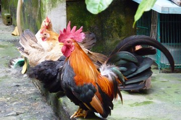 Thịt gà tăng 3 lần giá chỉ trong một tuần