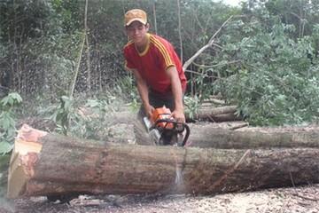 Người trồng cao su ồ ạt đốn cây bán gỗ