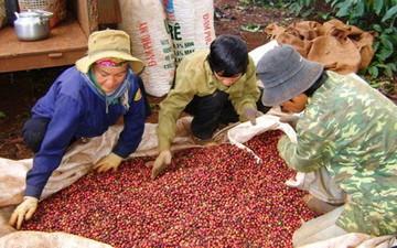 Vicofa: Sản lượng cà phê vụ 2014/15 dự kiến giảm mạnh do mưa nhiều tại Tây Nguyên