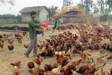 Xuất khẩu giá rẻ + nhập lậu: ép chăn nuôi vào khe kẹt