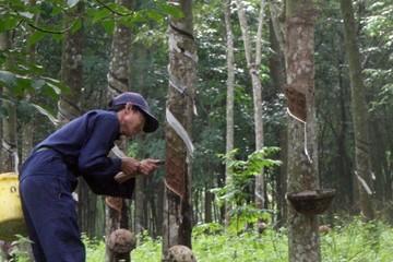Nông dân tại Đắk Nông chặt bỏ gần 400ha cao su vì lỗ nặng