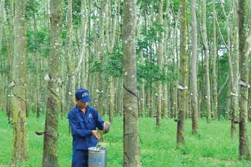 7 tháng, cao su Đồng Phú lãi gộp hơn 112 tỷ đồng