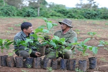 Hỗ trợ nông dân gần 7 triệu cây giống cà phê