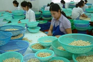 Kim ngạch xuất khẩu điều đạt trên 1 tỷ USD