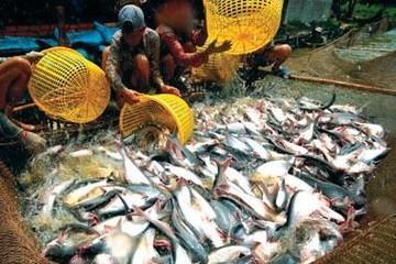 Sản lượng cá tra nhiều tỉnh trọng điểm giảm dù diện tích tăng