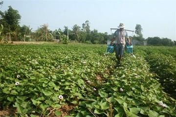 Người trồng khoai lang tím Nhật thất thu, lỗ nặng vì sâu lạ tấn công