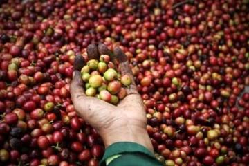 Kiến nghị trữ 200.000 tấn cà phê để giữ giá