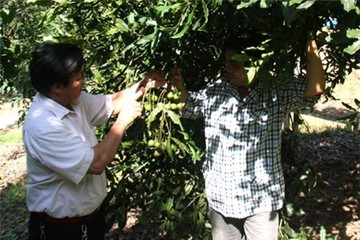 Thu hàng trăm triệu từ cây mắc ca