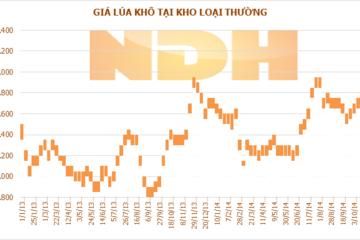 Tuần 24-30/10: Giá lúa gạo tại ĐBSCL đồng loạt tăng nhẹ