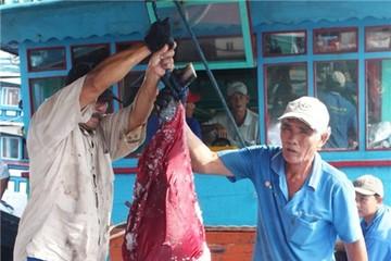 Thử nghiệm thành công máy câu cá ngừ đại dương