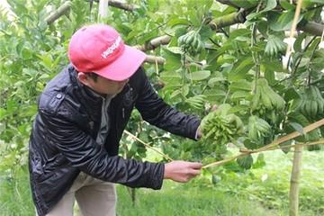 Dân Hà Nội trồng phật thủ: Người thu tiền tỷ, kẻ đổ nợ