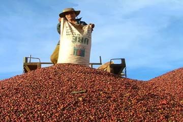 Vicofa: Sản lượng cà phê của Việt Nam niên vụ 2014/15 dự kiến giảm 20-25%