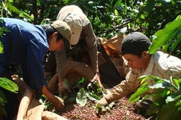 Đắk Lắk thành công trong niên vụ cà phê 2013-2014