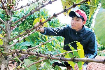 Gia Lai: Báo động tình trạng trộm cắp cà phê