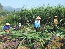 Người trồng mía lỗ nặng vì nhà máy nợ dai