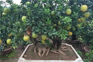 Rao bán 40 triệu đồng một cây bưởi cảnh bonsai chưng Tết