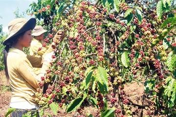 Tây Nguyên tái canh cây cà phê